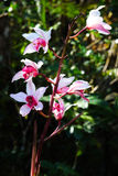 Orchidea selvatica Fotografie Stock Libere da Diritti