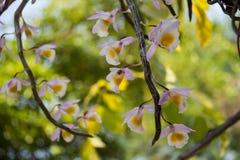 Orchidea selvatica del bello fiore giallo Immagini Stock