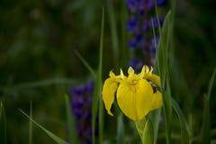 Orchidea selvatica gialla con erba verde immagini stock