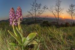 Orchidea selvatica nel suo habitat (robertiana di Barlia) Immagini Stock Libere da Diritti
