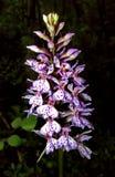 Orchidea selvatica nordica Fotografia Stock