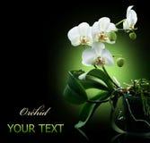Orchidea sopra il nero Fotografia Stock Libera da Diritti