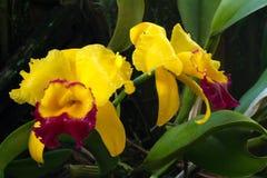 Orchidea strabiliante di Brassolaeliocattleya Fotografia Stock Libera da Diritti
