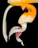 Orchidea straniera Fotografia Stock