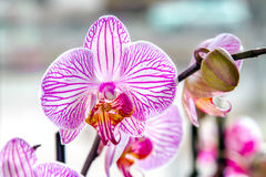 Orchidea a strisce della bella stanza del fiore del germoglio Immagine Stock