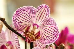 Orchidea a strisce della bella stanza del fiore del germoglio Fotografia Stock