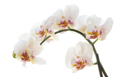 Orchidea su bianco Fotografie Stock Libere da Diritti