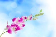 Orchidea su fondo blu Fotografia Stock Libera da Diritti