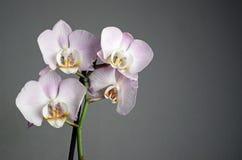 Orchidea su grey Immagini Stock Libere da Diritti