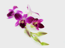 Orchidea su priorità bassa bianca Fotografia Stock