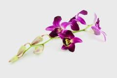 Orchidea su priorità bassa bianca Fotografia Stock Libera da Diritti
