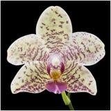 Orchidea su priorità bassa nera Fotografie Stock