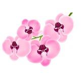 Orchidea su un fondo bianco Fotografie Stock Libere da Diritti
