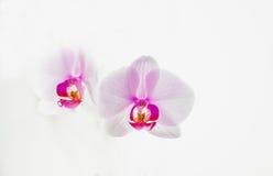 Orchidea su una priorità bassa bianca Immagine Stock Libera da Diritti