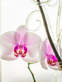 Orchidea su una priorità bassa bianca Fotografia Stock