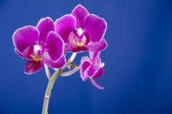 Orchidea sui precedenti blu fotografie stock