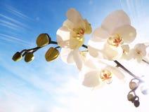 Orchidea sul cielo blu Immagine Stock