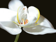 Orchidea sul nero Fotografia Stock Libera da Diritti