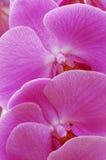 orchidea tło Obraz Stock