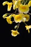 Orchidea tailandese Immagini Stock