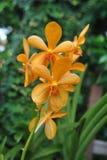 Orchidea tailandese Immagini Stock Libere da Diritti