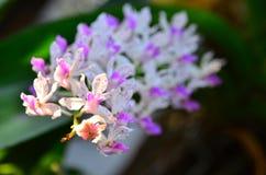 Orchidea tailandese Fotografia Stock