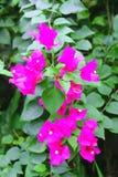 Orchidea tailandese che è amore significato non obbligatorio o il riconoscimento fotografie stock libere da diritti