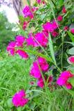 Orchidea tailandese che è amore significato non obbligatorio o il riconoscimento immagini stock libere da diritti