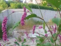 Orchidea tailandese rosa porpora del gambo lungo Fotografia Stock