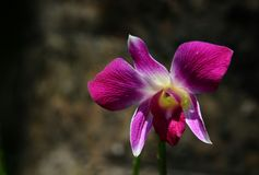 Orchidea Tailandia Immagine Stock