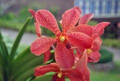 Orchidea in Tailandia Fotografia Stock Libera da Diritti