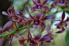 Orchidea in Tailandia Immagini Stock Libere da Diritti