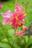 orchidea tajlandzka Zdjęcie Royalty Free
