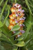Orchidea tropicale Fotografia Stock