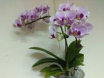 Orchidea, uno dei quattro signori nell'arte cinese fotografia stock libera da diritti