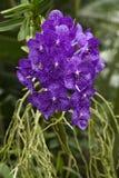 Orchidea Vanda Fotografia Stock