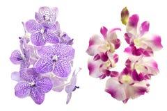 Orchidea variopinta isolata su fondo bianco Fotografie Stock Libere da Diritti