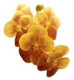 Orchidea variopinta isolata su fondo bianco Immagini Stock Libere da Diritti