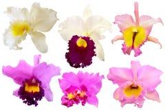 Orchidea variopinta isolata su fondo bianco Immagini Stock