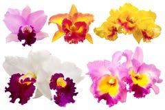 Orchidea variopinta su fondo bianco Fotografia Stock Libera da Diritti