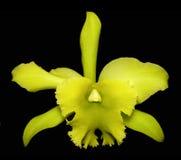 Orchidea verde di catleya Fotografie Stock Libere da Diritti