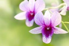 Orchidea viola Immagini Stock Libere da Diritti