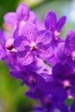 Orchidea viola Fotografie Stock