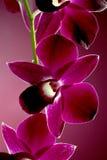 Orchidea viola Immagini Stock