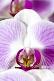 Orchidea viola Fotografia Stock Libera da Diritti