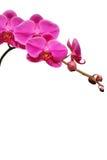 Orchidea viola immagine stock