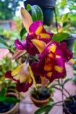 Orchidea viola in giardino Fotografia Stock Libera da Diritti