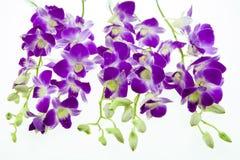 Orchidea viola isolata su priorità bassa bianca Fotografie Stock