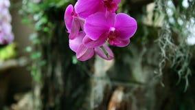 orchidea viola piacevole archivi video