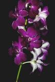 Orchidea viola su priorità bassa nera Fotografia Stock Libera da Diritti
